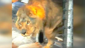 Løven havde levet hele sit liv i et bur på betonggulv. Se ham gå på græs for før