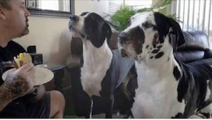 Ejeren fortæller sine hunde at de allerede har spist, og at det nu er hans tur.