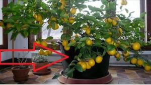 Da jeg så et citrontræ hjemme hos en veninde, besluttede jeg med det samme, at s