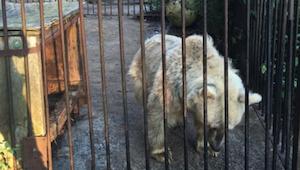 Bjørnen havde tilbragt 30 år i et bur. Jeg fik tårer i øjnene, da jeg så dens re