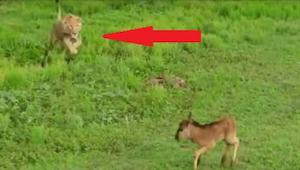 Løven nærmer sig den bange hjort, og ... Denne optagelse overraskede eksperterne