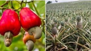Vil du gerne vide, hvordan ananas, asparges eller kiwi vokser? Det er rent fakti