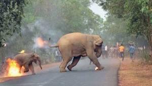 Det, som sker i Indien, er et helvede for elefanter. Er der virkelig ikke nogen,