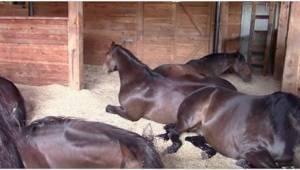 Hestene var mætte og tilfredse, og besluttede så at tage en lur. Deres ejer havd