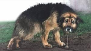Gennem 10 år var hunden lænket fast, uden mulighed for at bevæge sig. Se det spe