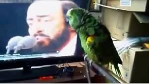 Papegøjen og dens idol, Pavarotti ... Sådan en duet har I ikke hørt før!