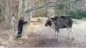Ved synet af den store elg stoppede han brat, men efter et øjeblik vidste han hv