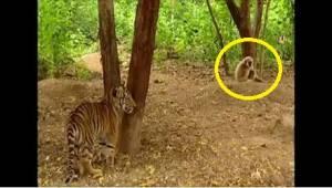 En abe mod to tigre. Dette var noeget af det sjoveste der skete sidste år!