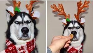 6 billeder af en hund, der helt sikkert ikke kan lide jul... Denne husky er alle