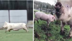 Glæden hos grisene, efter at de blev frelst fra slagteriet, er fantastisk!