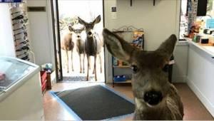 Hjortene ville ikke forlade butikken. Så kom ekspedienten op med en strålende id