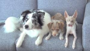 Tre hunde sidder i sofaen; observer omhyggeligt, hvad de foretager sig.