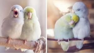 Søde billeder, der udødeliggør kærlighed mellem papegøjer, smelter dit hjerte!