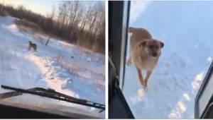 Buschaufføren standser hver dag ved et ekstra stoppested, hvor en sulten hund ve