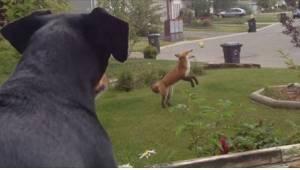 Hunden blev urolig, da den så, hvordan ræven begyndte at bruge dens legetøj ude