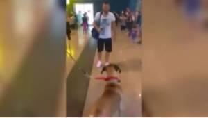 En hund ventede i lufthavnen på sin ejer. Dens reaktion på synet af et kendt og