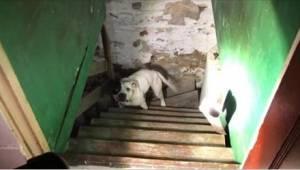 Nede i kælderen fandt han en pitbullterrier, som var lænket fast. Hundens reakti