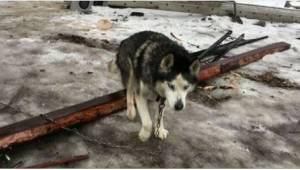 Igennem 16 år levede denne husky som lænkehund, inden den endelig fandt et kærli