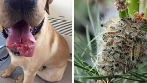 Specialister advarer: Hvis du ser disse larver, så fjern dig så hurtigt som muli