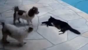 To hunde driller en kat ved kanten til svømmebassinet, men et øjeblik senere får