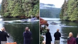 Hvalerne svømmer ind i den lille bugt, og synet forbløffer de turister, som tilb