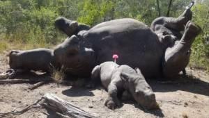 Skovbetjentene fandt et et-måneder gammelt næsehorn, som hylede af smerte ved si