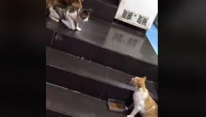 To katte skal til at i gang med en slåskamp. Så ankommer der en golden retriever