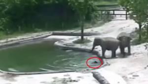 To elefanter styrter af sted, for at redde en lille elefant fra druknedøden, eft