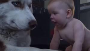 Barnet kravler over mod huskyen. Filmen med hundens reaktion er allerede set af