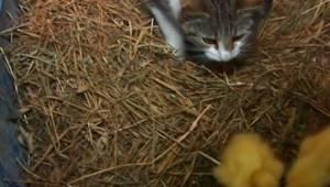 Hun bemærkede, hvordan katten bar en ælling i munden, men hun havde trods alt ik