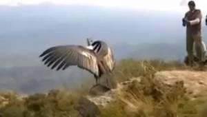 Den majestætiske kondor bliver sat fri, efter at den er blevet reddet. Se her, h
