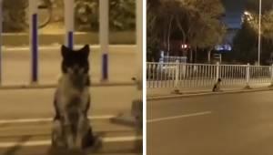 Hunden har siddet ved en vej med masser af trafik i over 80 dage, mens den har v