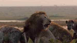 Løven var omringet af en flok hyæner og klar til at dø, da der pludselig kom hjæ