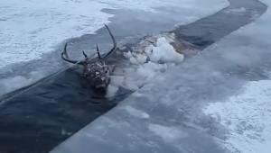 En hjort falder ned i en frossen flod i Sibirien. Se her, hvordan den bliver red