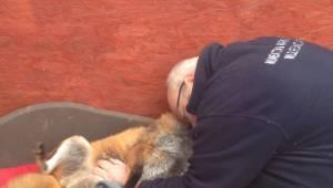 For 7 år siden reddede manden en ræv; se blot denne bevægende optagelse fra da d