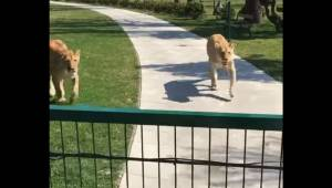 Kvinden reddede de små løver, men måtte aflevere dem til reservatet. Syv år sene