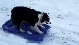 Hunden kører opad i sneen, men det er det, den gør på vejen nedad, som gør, at j