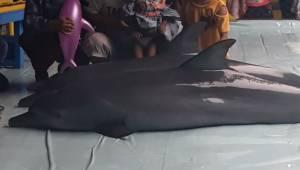 Optagelsen viser, hvordan man plager delfinerne for at underholde turisterne. De