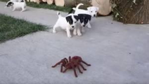 De dejlige hvalpe stødte på en legetøjsedderkop; alle vil få sig en god latter o