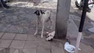 Tævehunden hyler og tigger om hjælp til sin syge hvalp. Da nogle mennesker komme