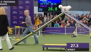 Hunden taber løbekonkurrencen, men den måde den gennemfører ruten på, gør, at he