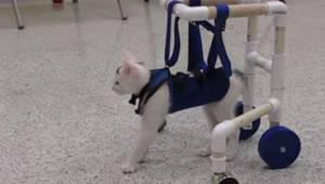 Katten fra dyreinternatet kan ikke gå, men da dens mennesker giver den et gangap