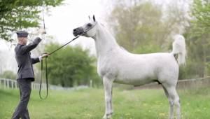 Denne hest har en værdi på 1.400.000 EURO ... Se blot, hvad der sker, når den be