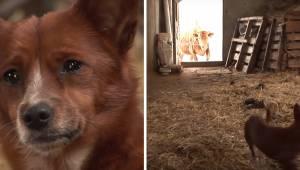 Den fortvivlede hund er blevet adskilt fra den ko, som den voksede op sammen med