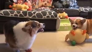 Du må ikke gå glip af at se, hvordan disse to overvægtige hunde skændes med hina