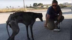 Den udmagrede spanske hund af racen mynde blev efterladt til den visse død. Den