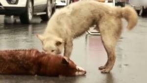 Den desperate hund midt på vejen prøver at vække sin ven, som døde efter at være