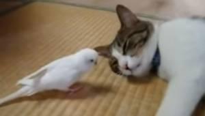 En fugl går hen til den sovende kat. Se ubetinget kattens reaktion, da den vågne