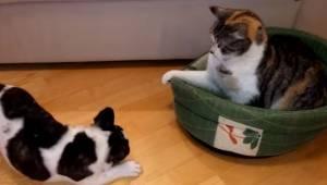 Denne særdeles stædige kat nægter at forlade hundekurven. Hundens reaktion vil u