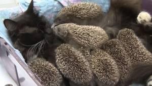 Pindsvinet mistede sin mor i en ulykke, men nu er det blevet adopteret af hunkat